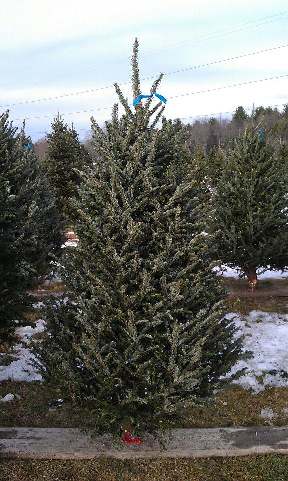 Cut Your Own Christmas Tree.Cut Your Own Christmas Trees At River Bend Christmas Tree