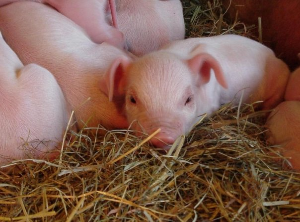 piglets snuggling